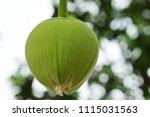african baobab fruit or monkey... | Shutterstock . vector #1115031563