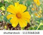 yellow flowers and yellow...   Shutterstock . vector #1115068268