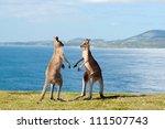 This Image Shows Kangaroos...