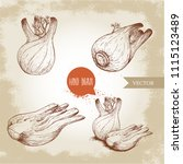fennel bulbs set. hand drawn... | Shutterstock .eps vector #1115123489