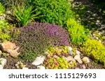 Beautiful Sedum Plant In Rock...