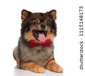Stock photo genteman pomeranian lies on white background while panting and looking up to side 1115148173