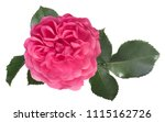 beautiful pink color rose... | Shutterstock . vector #1115162726