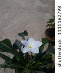 single plumeria flower  | Shutterstock . vector #1115162798