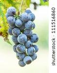 Brush dark grapes. Nature background - stock photo