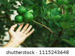 Small photo of Hand keep limes from the tree. Lime is Species same type citrus fruit and Lemon, containing Citric Acid (AHA : Alpha Hydroxy Acids) juice. Limes are excellent source of vitamin C.