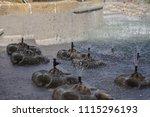 cheltenham  gloucestershire  01 ... | Shutterstock . vector #1115296193