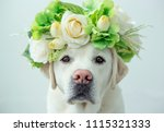 a labrador retriever looking... | Shutterstock . vector #1115321333