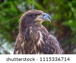 close up of juvenile bald eagle | Shutterstock . vector #1115336714