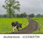 dairy cows returning to the... | Shutterstock . vector #1115365754