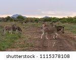a harem of burchell's zebra  ...   Shutterstock . vector #1115378108
