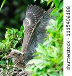 black crowned night heron ... | Shutterstock . vector #1115406188