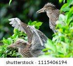 black crowned night heron ... | Shutterstock . vector #1115406194