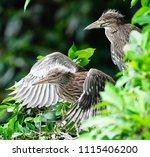 black crowned night heron ... | Shutterstock . vector #1115406200