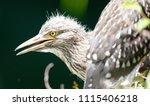 black crowned night heron ... | Shutterstock . vector #1115406218