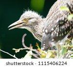 black crowned night heron ... | Shutterstock . vector #1115406224
