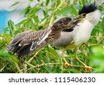 black crowned night heron ... | Shutterstock . vector #1115406230