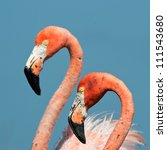 Portrait Of Two Great Flamingo...