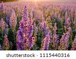 Clary Sage Field  Sunrise....