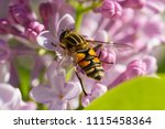 the bee collects the nectar on... | Shutterstock . vector #1115458364