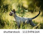 funny young gray devon rex... | Shutterstock . vector #1115496164
