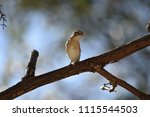 non breeding male pin tailed... | Shutterstock . vector #1115544503