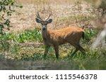 marsh deer blastocerus...   Shutterstock . vector #1115546378