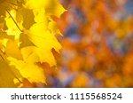 golden maple leaves exhibiting... | Shutterstock . vector #1115568524