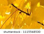 golden maple leaves exhibiting... | Shutterstock . vector #1115568530