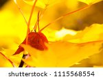 solitary red leaf embedded... | Shutterstock . vector #1115568554