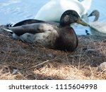 Small photo of This Duck let me get so close.