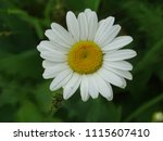 small single daisy | Shutterstock . vector #1115607410
