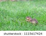 single chipmunk in grass | Shutterstock . vector #1115617424