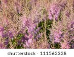 Pink flower Calluna vulgaris known as Common Heather, ling, or simply heather - vertical - stock photo