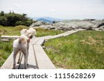 small poodle mix dog on a... | Shutterstock . vector #1115628269