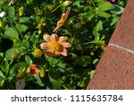 classic single pale amber ... | Shutterstock . vector #1115635784
