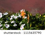 classic single pale amber ... | Shutterstock . vector #1115635790