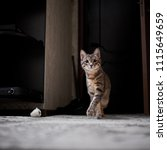 Stock photo little grey cat with tassels on the ears playing at home 1115649659