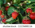 Fresh Strawberry On The Bush...