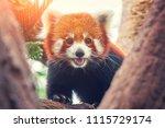 red panda  firefox or lesser...   Shutterstock . vector #1115729174