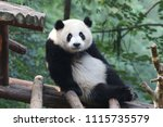 funny pose of giant panda  ... | Shutterstock . vector #1115735579