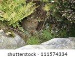 Rabbit Hiding Among Rocks And...