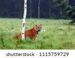 the siberian tiger  panthera... | Shutterstock . vector #1115759729