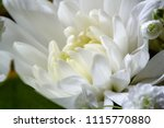 Small photo of Chrysanthemum is a popular plant of the family of chamomiles, with brightly colored decorative flowers and existing in many cultural forms. The Oxus chamomile which has white rays with a yellow center