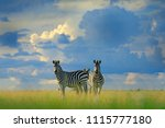 zebra with blue storm sky.... | Shutterstock . vector #1115777180