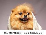 Little Dog Breed Pomeranian...