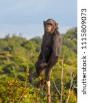 chimpanzee consists of two... | Shutterstock . vector #1115809073