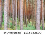 coniferous forest scenic view ... | Shutterstock . vector #1115852600