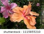 hibiscus flowers  double orange ... | Shutterstock . vector #1115855210