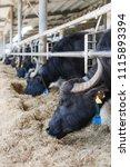 the buffalos in a farm in italy ... | Shutterstock . vector #1115893394